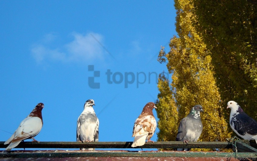 free PNG birds, flock, pigeons, trees wallpaper background best stock photos PNG images transparent
