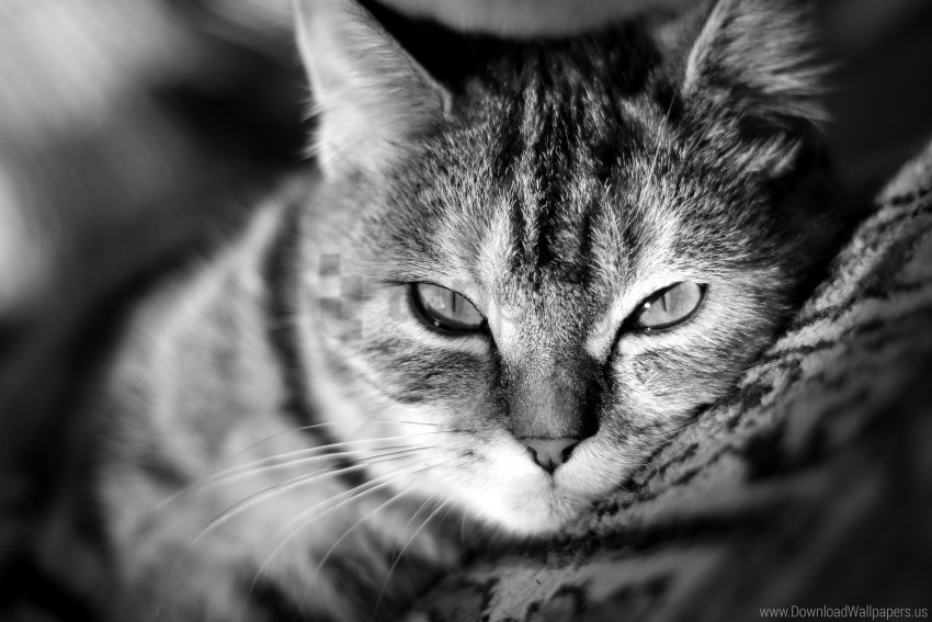 free PNG black & white, cat, eyes, face, kitty, kote, nose, whiskers wallpaper background best stock photos PNG images transparent