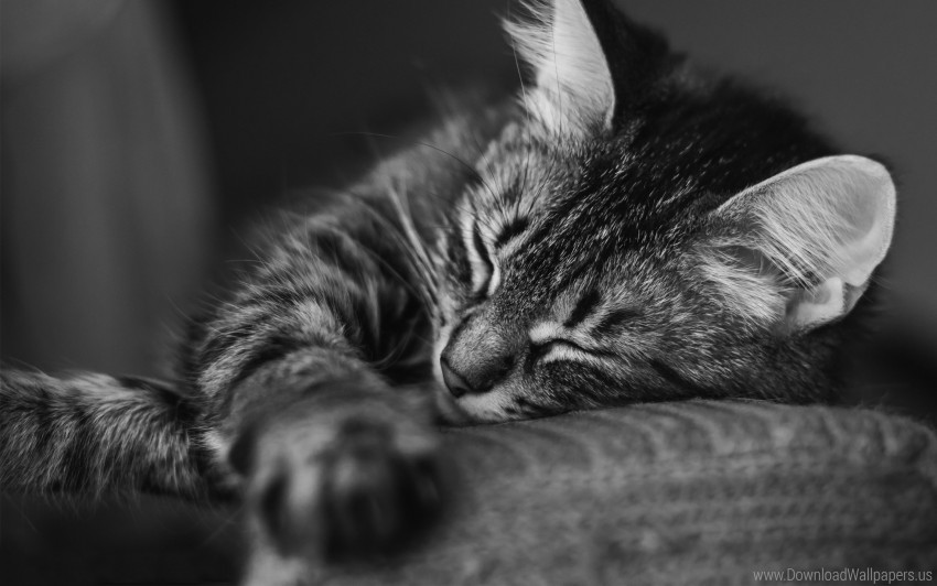 Black And White Cat Muzzle Pillow Sleep Striped Wallpaper Background Best Stock Photos Toppng