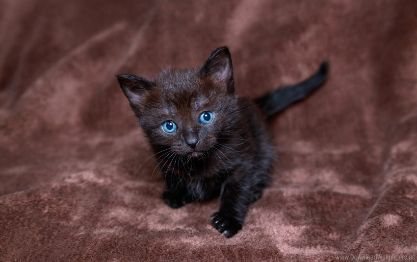 Black Blue Boy Kitten Wallpaper Background Best Stock Photos Toppng