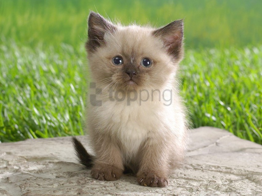 Black Boy Fluffy Kitten Wallpaper Background Best Stock Photos Toppng