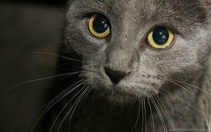 free PNG black, cat, eyes, gray, muzzle wallpaper background best stock photos PNG images transparent