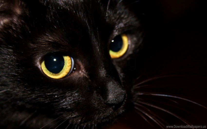 Black Cat Eyes Kitten Wallpaper Background Best Stock Photos Toppng