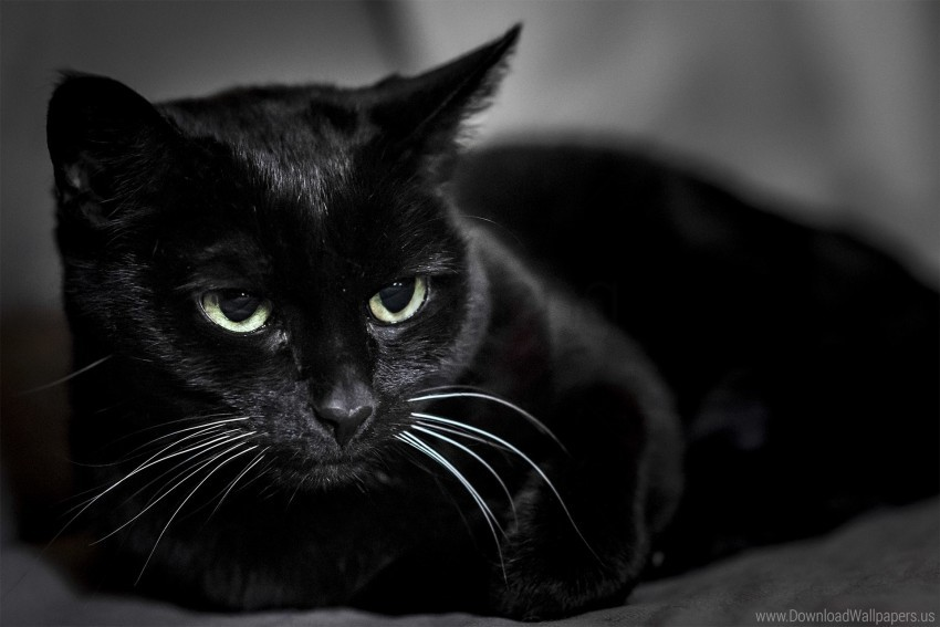free PNG black cat, eyes, muzzle wallpaper background best stock photos PNG images transparent