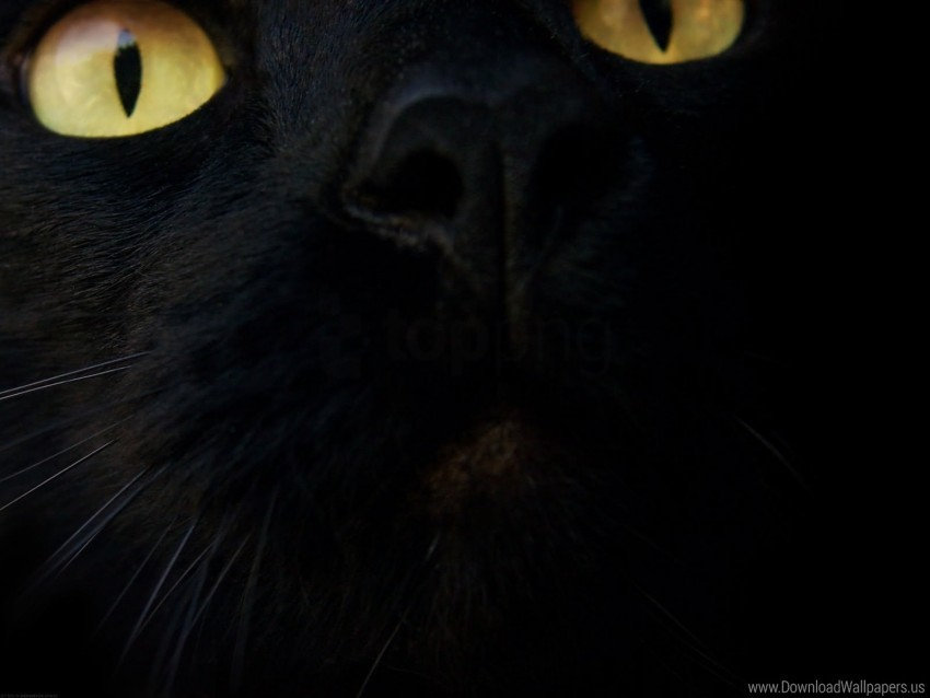 Black Cat Eyes Muzzle Wallpaper Background Best Stock