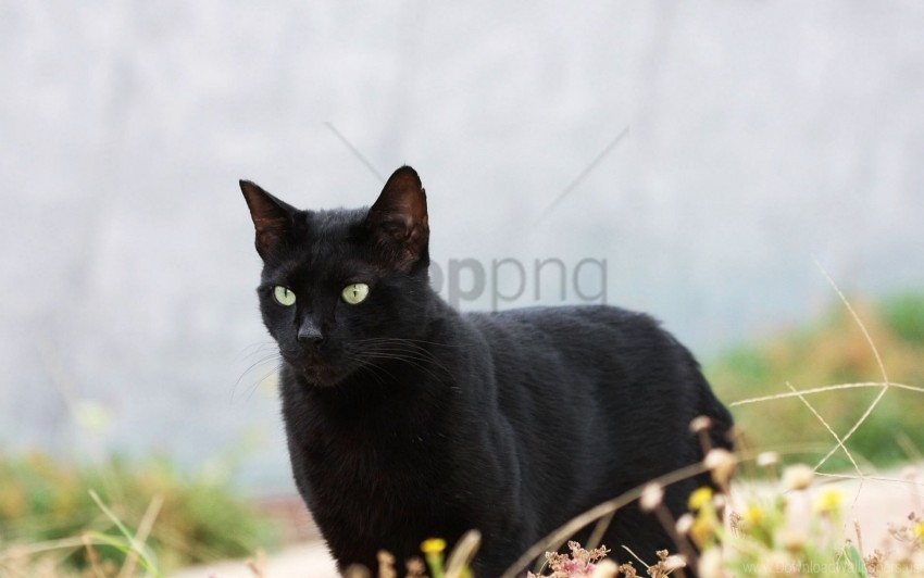 free PNG black, cat, grass, walk wallpaper background best stock photos PNG images transparent