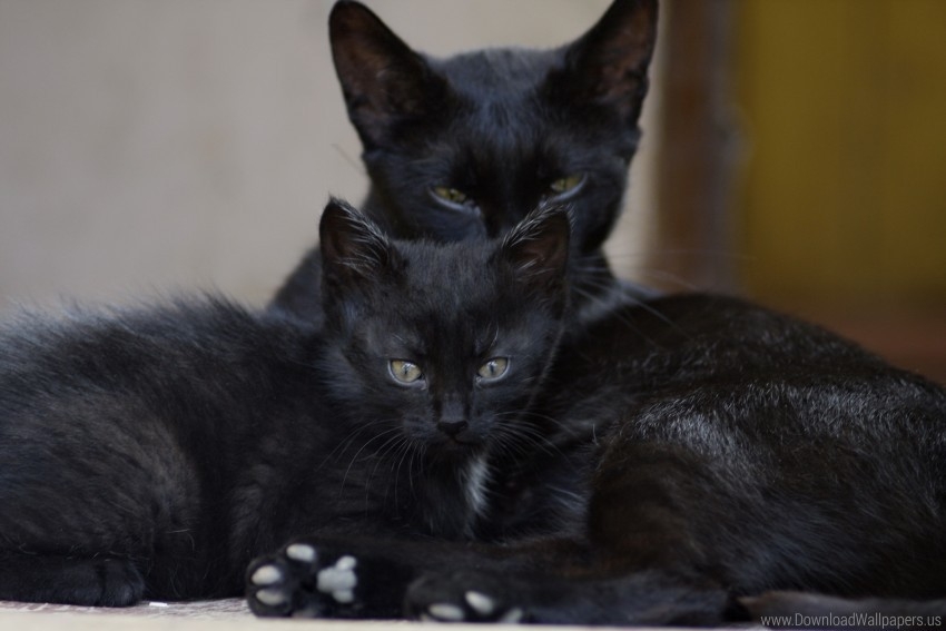 Black Cats Family Kitten Look Wallpaper Background Best Stock Photos Toppng