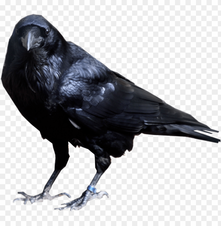 free PNG Download black crow standing png images background PNG images transparent