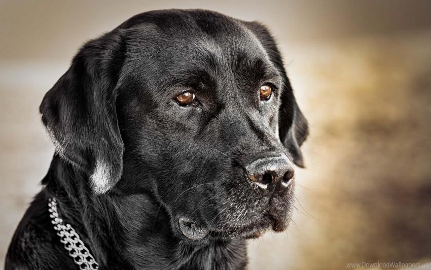 free PNG black dog, collar, dog, muzzle wallpaper background best stock photos PNG images transparent