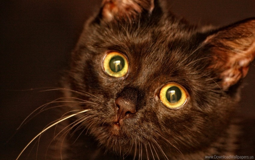 free PNG black, eyes, face, kitten wallpaper background best stock photos PNG images transparent