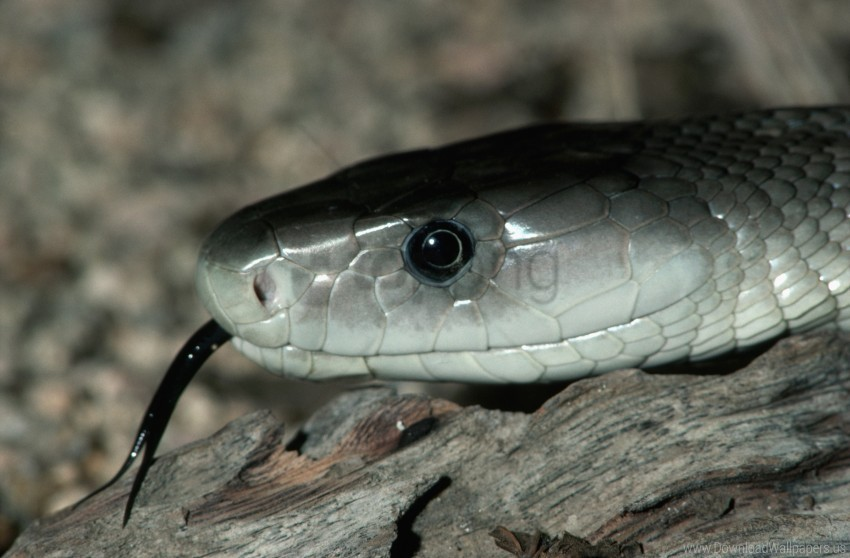 free PNG black tongue, eyes, gray snake, rocks wallpaper background best stock photos PNG images transparent