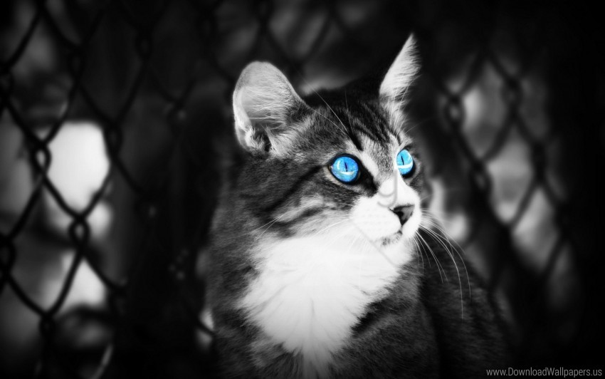 free PNG black white, blue eyes, cat, eyes, lie wallpaper background best stock photos PNG images transparent