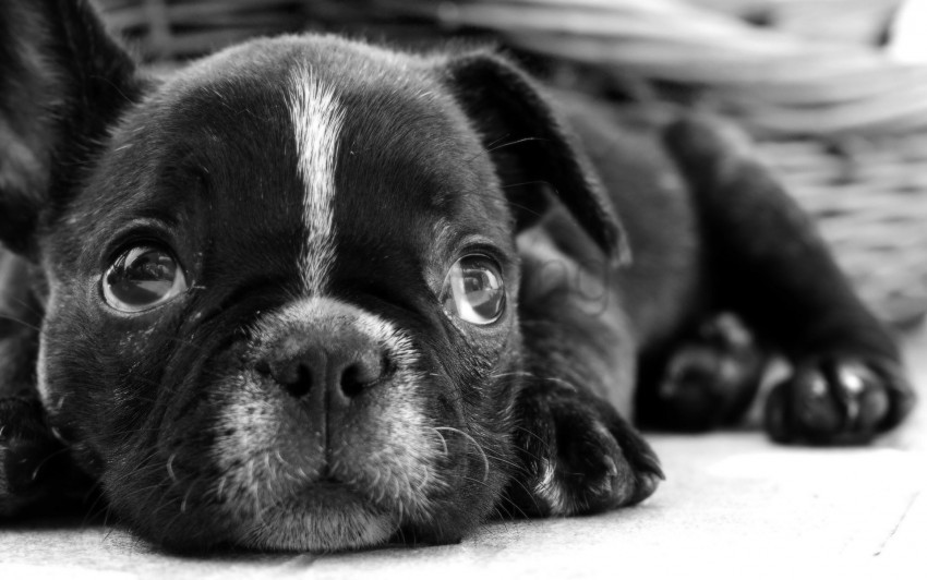 free PNG black white, bulldog, dog, eyes, face, puppy, sadness wallpaper background best stock photos PNG images transparent