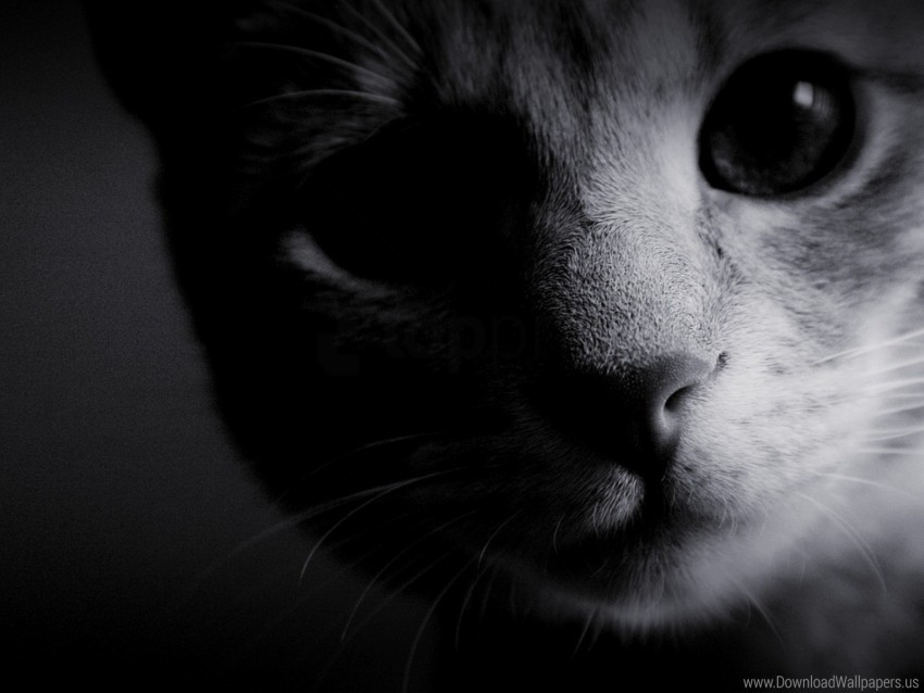 free PNG black white, cat, eyes, muzzle, nose, wool wallpaper background best stock photos PNG images transparent
