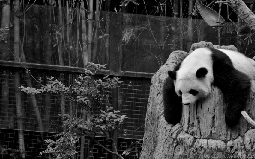 Black White Hollow Nature Reserve Panda Sleep Wallpaper Background Best Stock Photos Toppng