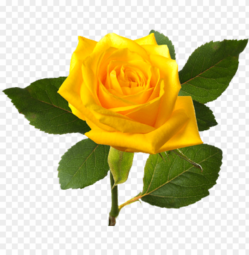 free PNG bleautiful yellolw rose, yellow rose bush png clipart - yellow rose flower PNG image with transparent background PNG images transparent