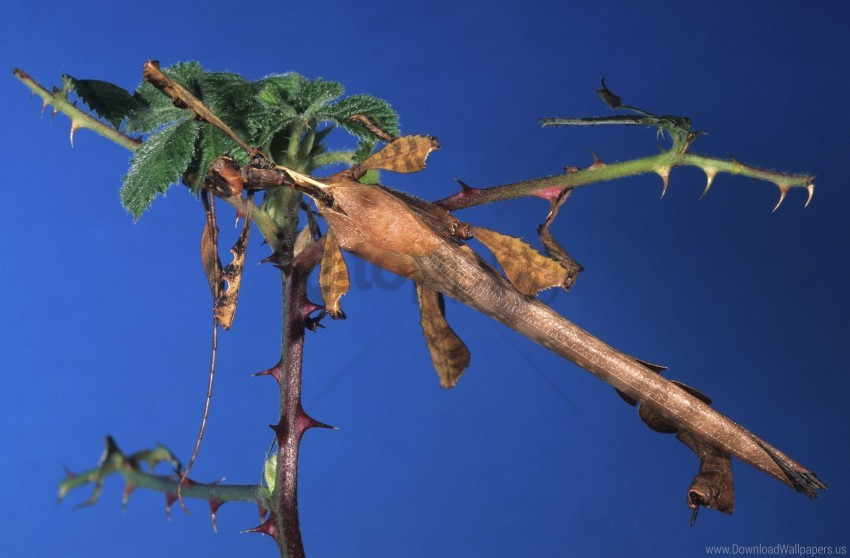 free PNG blue background, branch, stick insect, thorn wallpaper background best stock photos PNG images transparent