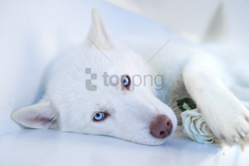 free PNG blue-eyed, dog, husky, muzzle wallpaper background best stock photos PNG images transparent