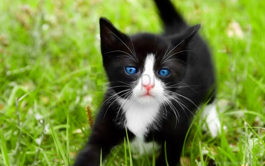 free PNG blue-eyed, grass, kitten, spotted, walk wallpaper background best stock photos PNG images transparent