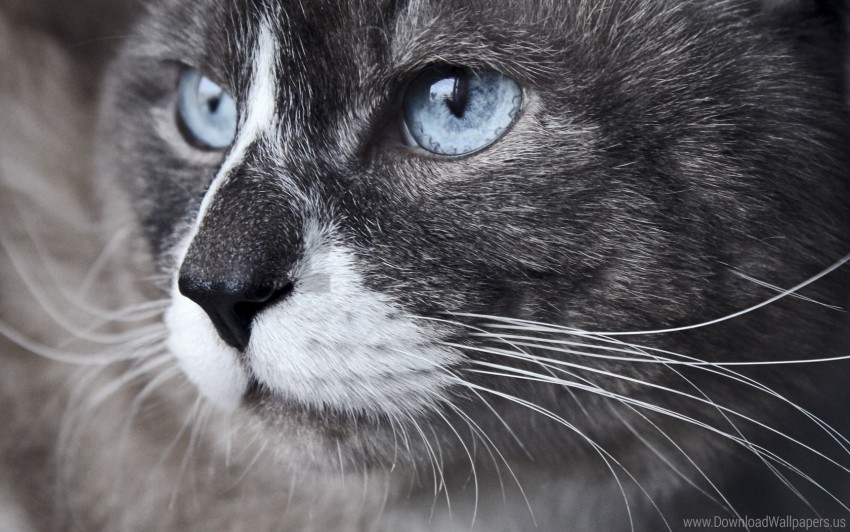 free PNG blue eyes, cat, close-up, look, muzzle, watch wallpaper background best stock photos PNG images transparent