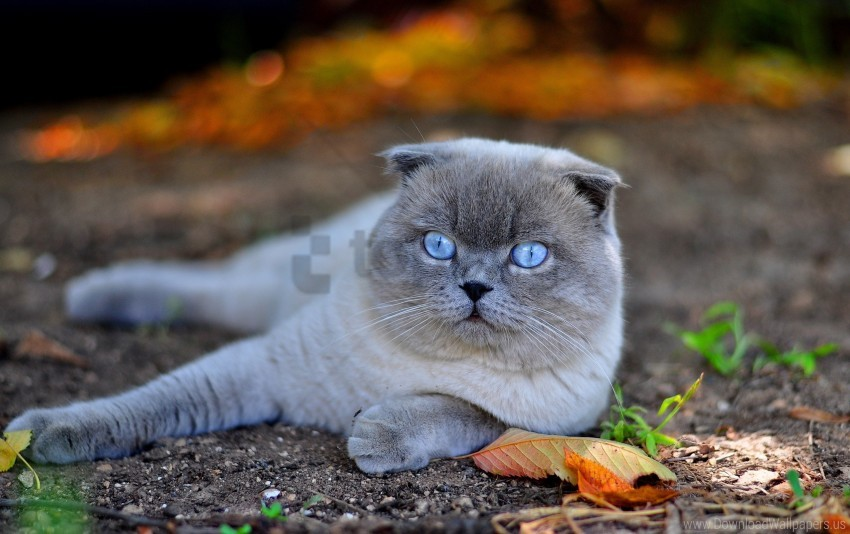 free PNG blue eyes, cat, face, fall, leaves, lie wallpaper background best stock photos PNG images transparent