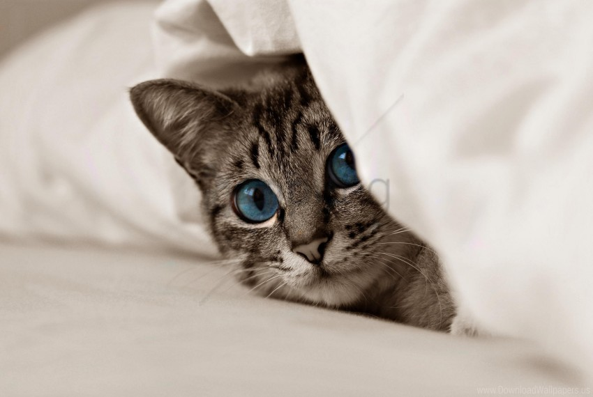 free PNG blue eyes, cat, face, kitten wallpaper background best stock photos PNG images transparent