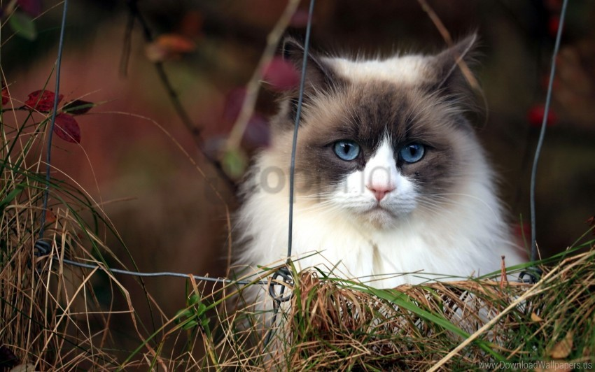 free PNG blue eyes, cat, furry, grass, muzzle wallpaper background best stock photos PNG images transparent