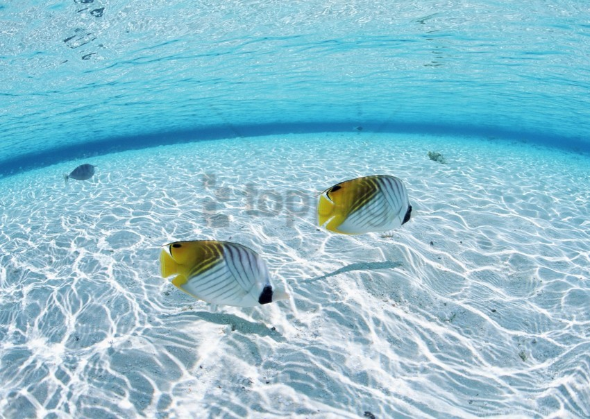 Bottom Butterfly Couple Fish Sea Shallow Water Wallpaper Background Best Stock Photos Toppng