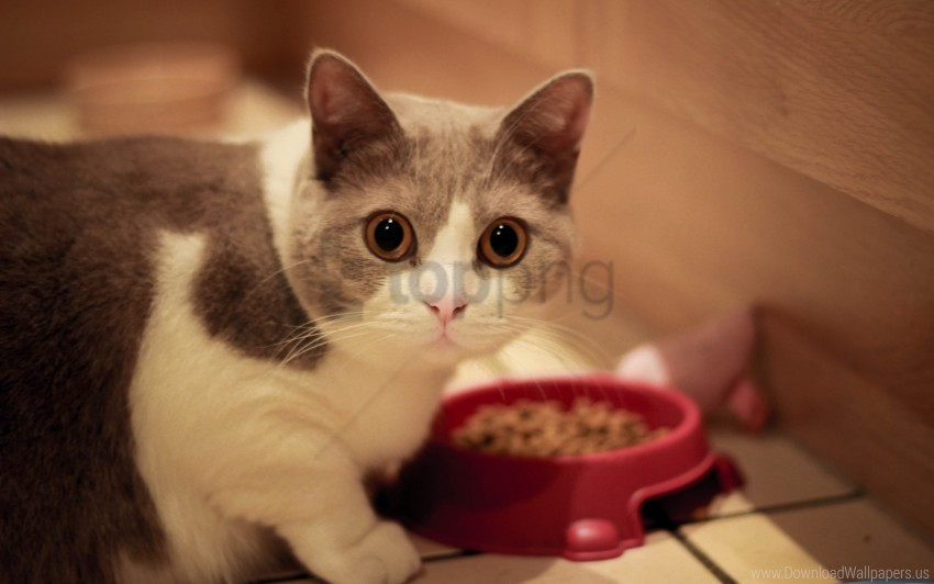 free PNG bowl, cat, eyes, food, muzzle wallpaper background best stock photos PNG images transparent
