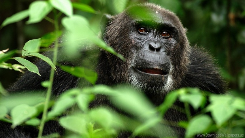 free PNG branches, gorilla, grass, hide, monkey wallpaper background best stock photos PNG images transparent