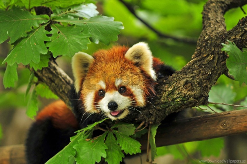 free PNG branches, grass, leaves, red panda wallpaper background best stock photos PNG images transparent