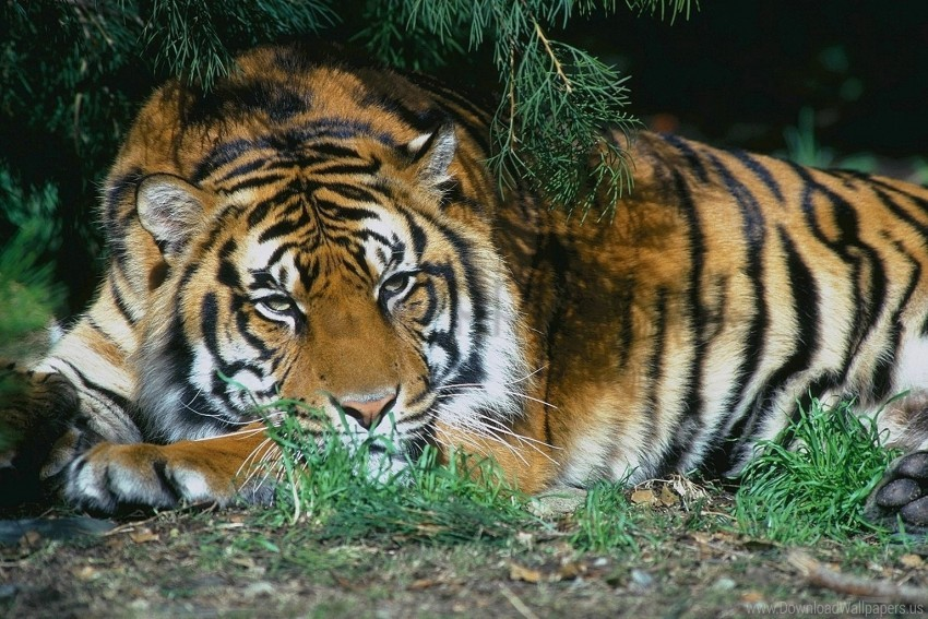 free PNG branches, lying, rest, tiger, trees wallpaper background best stock photos PNG images transparent