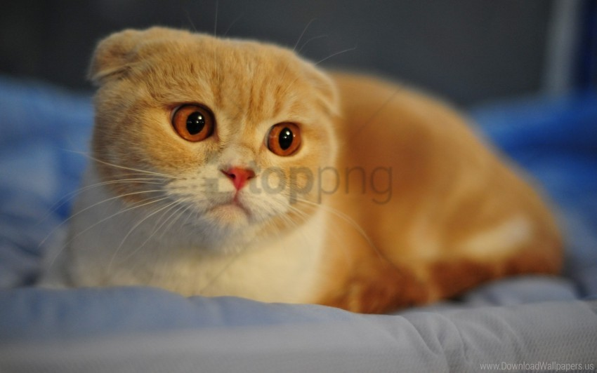 free PNG breed, cat, ears, eyes, face, face, macro, nose, scottish fold wallpaper background best stock photos PNG images transparent