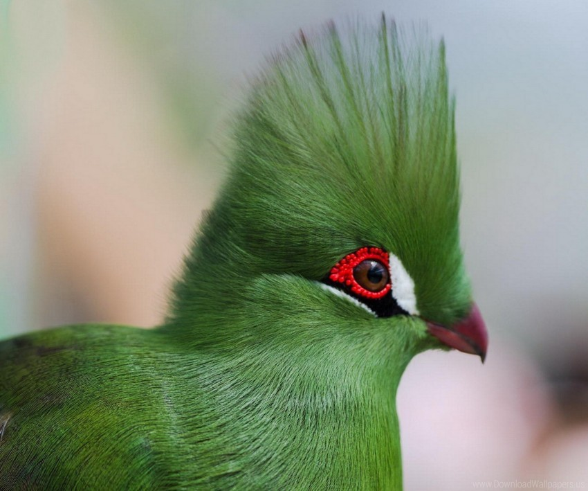 free PNG bright color, eyes, guinea turaco, poultry, pro wallpaper background best stock photos PNG images transparent