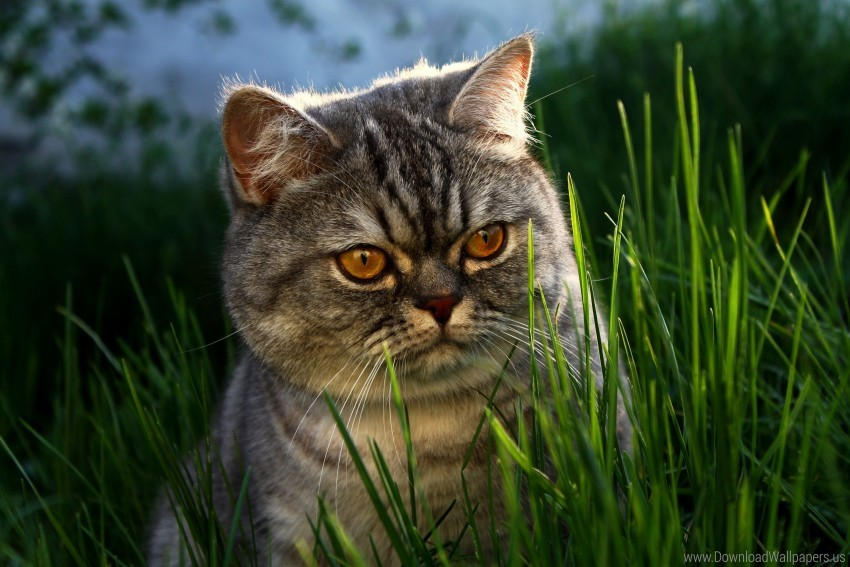 free PNG brit, cat, eyes, face, grass wallpaper background best stock photos PNG images transparent