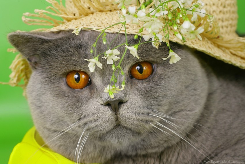 free PNG british, cat, cat, cat, eyes, face, flowers, white, yellow hat wallpaper background best stock photos PNG images transparent