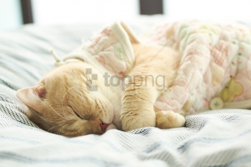 free PNG british cat, cat, sleeping, white wallpaper background best stock photos PNG images transparent