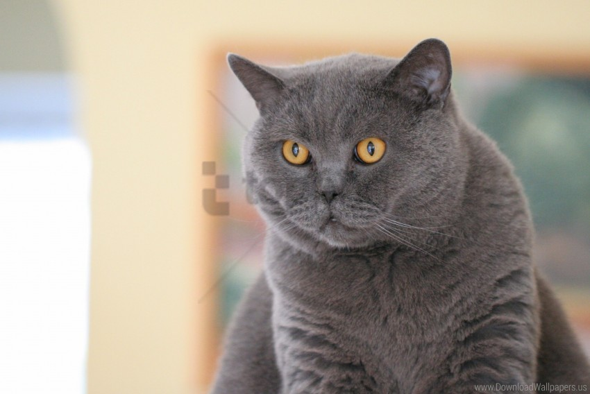 free PNG british cat, eyes, face, fat wallpaper background best stock photos PNG images transparent