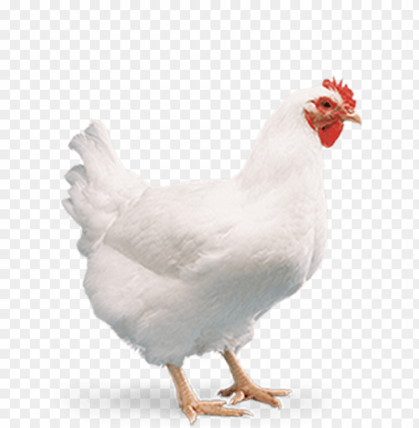 free PNG broiler chicken png PNG image with transparent background PNG images transparent