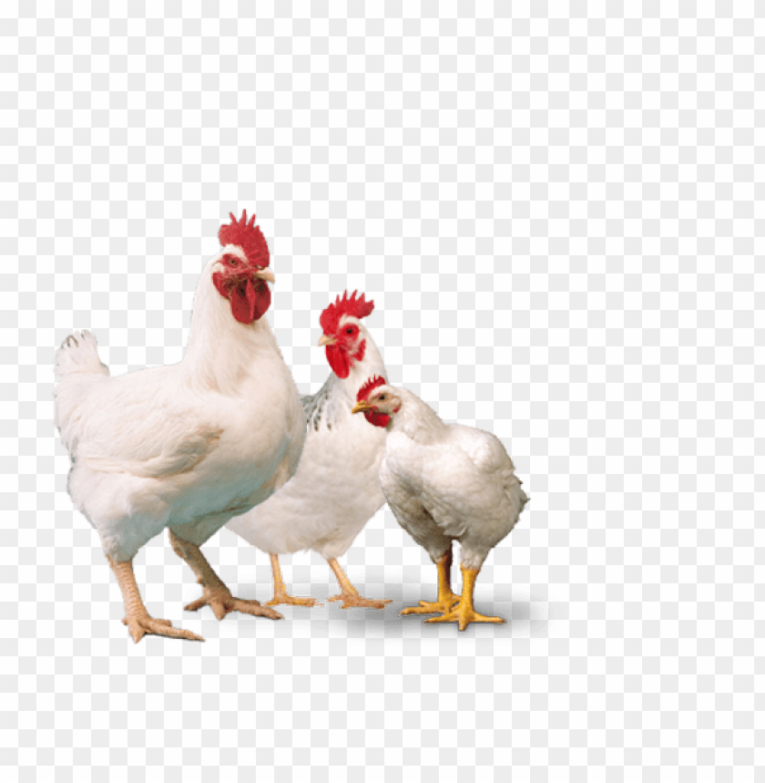 Broiler Chicken Png Png Image With Transparent Background Toppng Download chicken png images transparent backgrounds pictures from the below gallery. broiler chicken png png image with