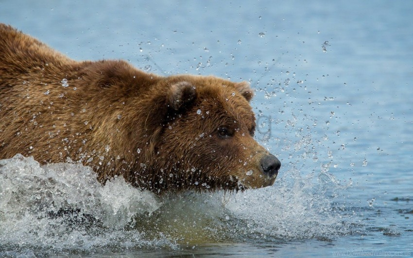 free PNG brown bear, grizzly bear, swim, water wallpaper background best stock photos PNG images transparent