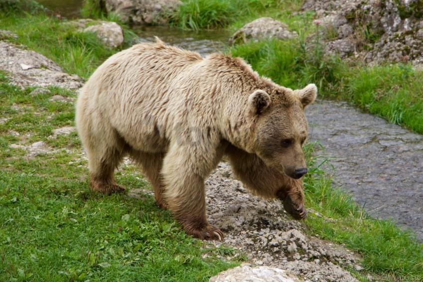 free PNG brown bear, siberian bear, walk wallpaper background best stock photos PNG images transparent