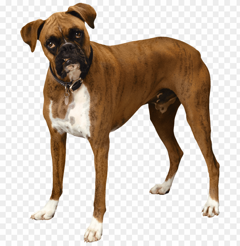free PNG Download brown bulldog clipart png photo   PNG images transparent