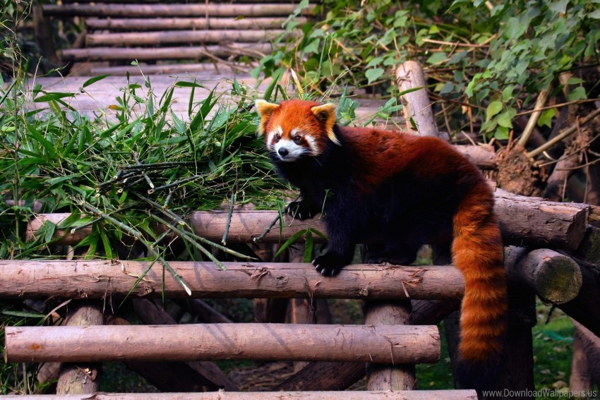 free PNG building, climbing, leaves, red panda, stairs wallpaper background best stock photos PNG images transparent