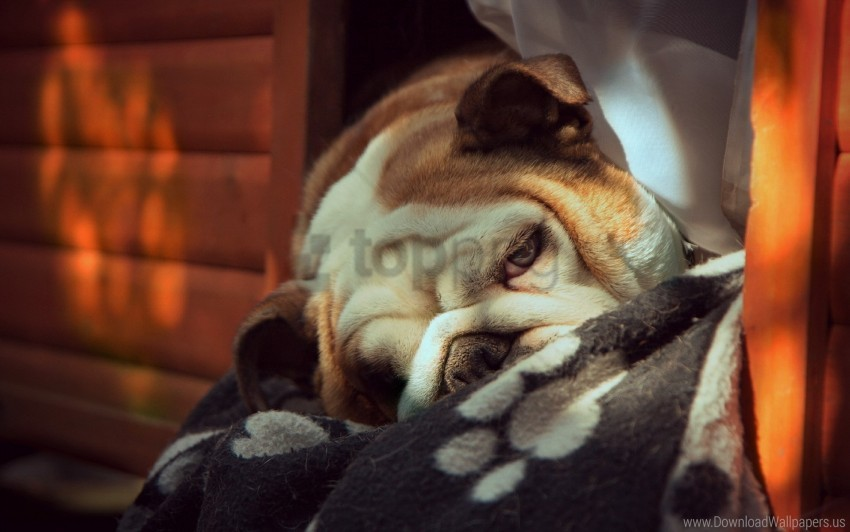 free PNG bulldog, dog, each, eyes wallpaper background best stock photos PNG images transparent