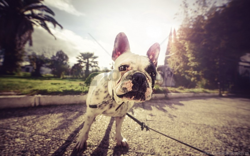 free PNG bulldog, dog, eyes, leash, muzzle wallpaper background best stock photos PNG images transparent
