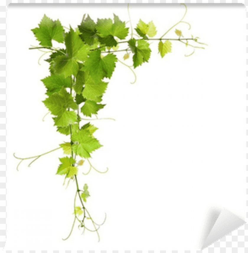 Bunch Of Green Vine Leaves And Grapes Vine Wall Mural Grape Vine Png Image With Transparent Background Toppng