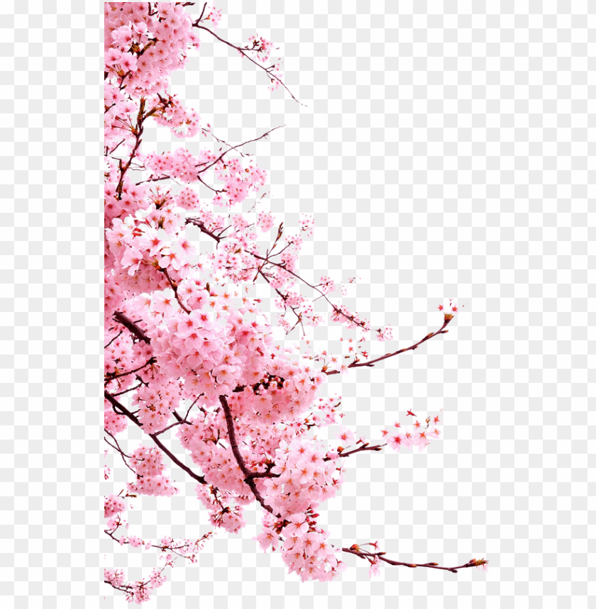 free PNG bunga-png - japanese cherry blossom PNG image with transparent background PNG images transparent