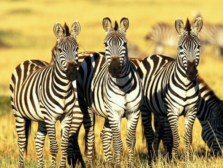 free PNG burchell's, kenya, mara, masai, zebras wallpaper background best stock photos PNG images transparent