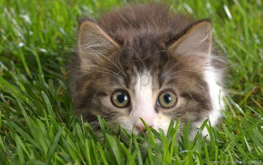 free PNG bushy, cat, grass, lurk, muzzle wallpaper background best stock photos PNG images transparent